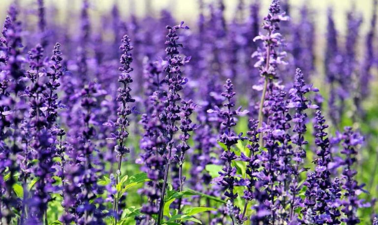 How to Grow Lavender in Florida