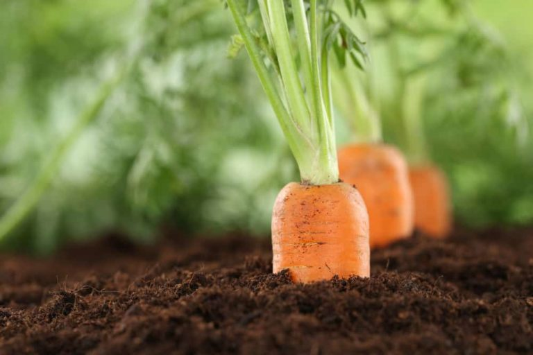 17 Companion Plants for Carrots (And 3 To Avoid)