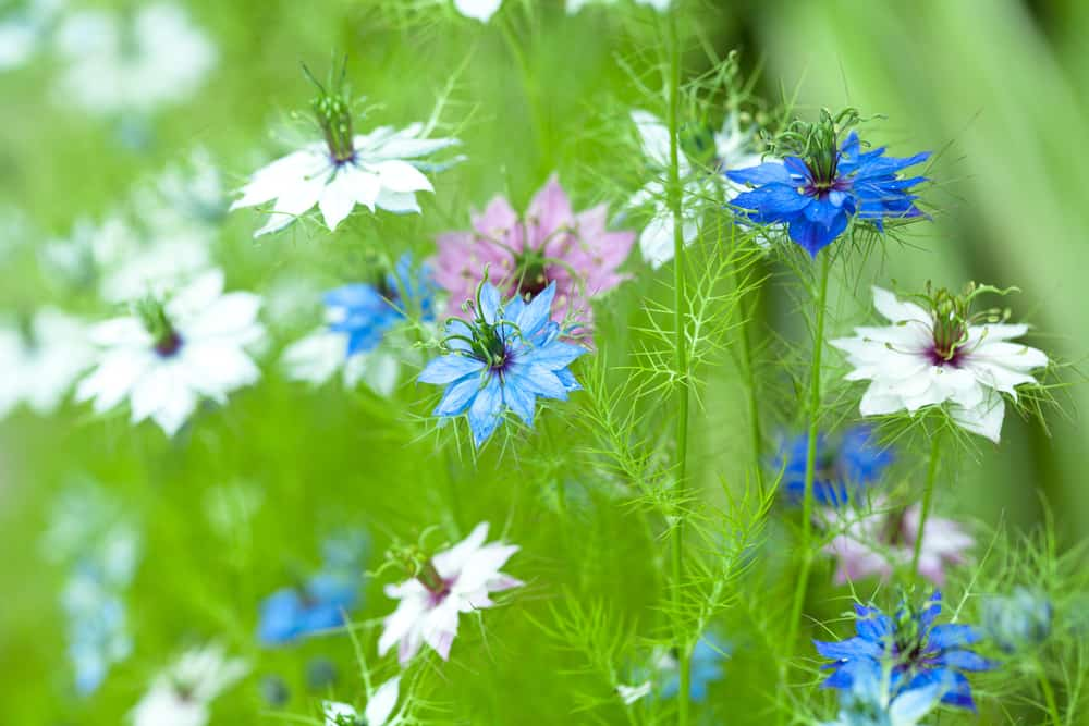 Nigella (Love-in-a-Mist)