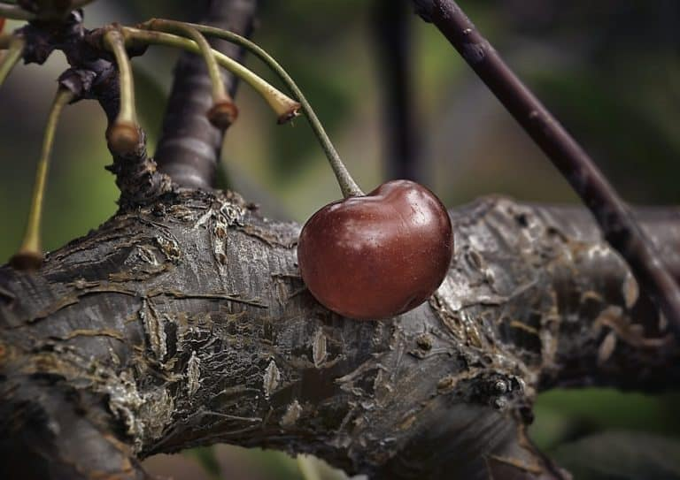 How to Save a Dying Cherry Tree: 7 Methods You Can Use