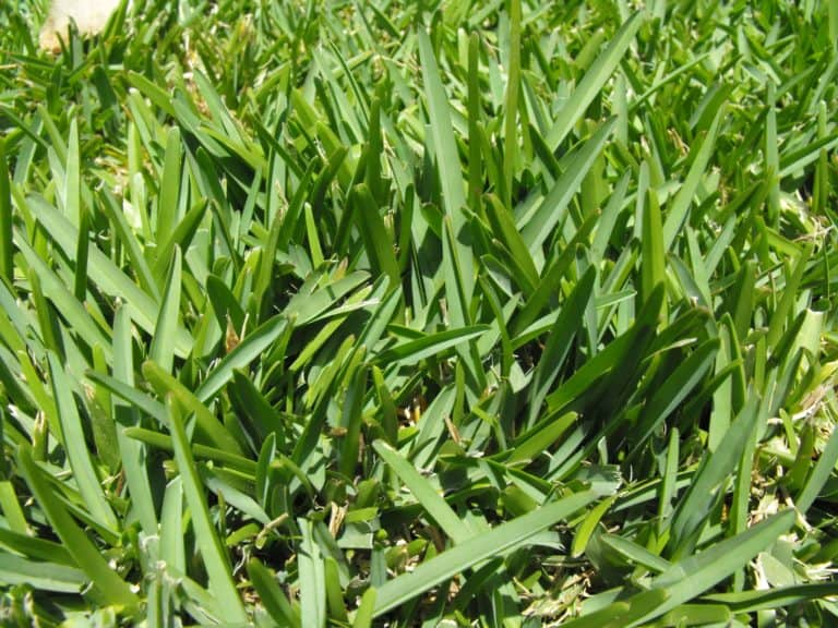 How to Make St. Augustine Grass Spread Quickly & Grow Thicker