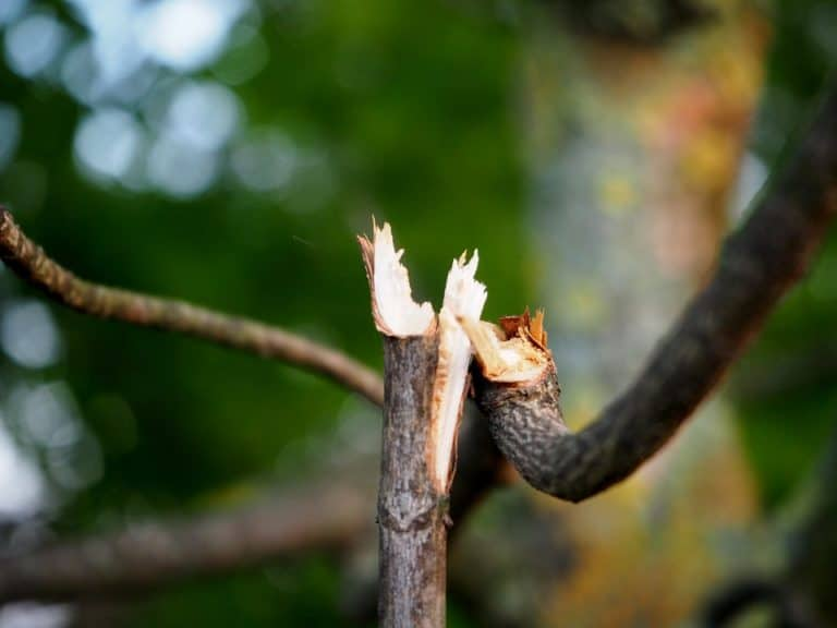 Can a Broken Tree Branch Grow Roots? (How to Do it Right)