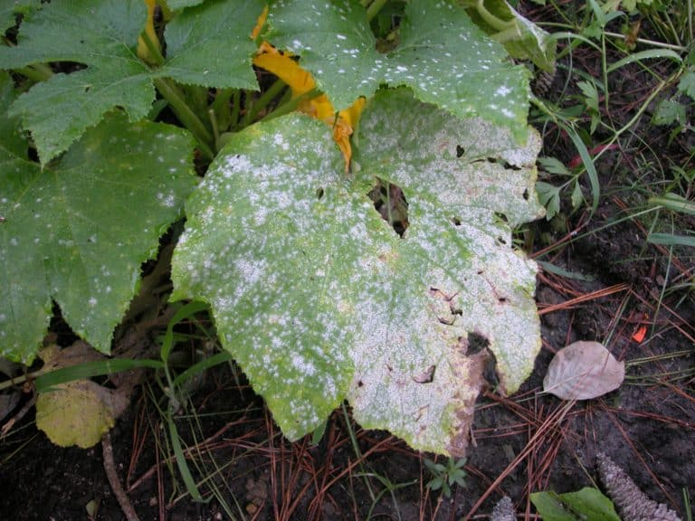 Does Apple Cider Vinegar Kill Powdery Mildew? (How to Use it)