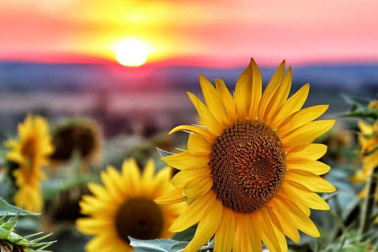 How Fast Does a Sunflower Grow? (Tips to Accelerate Growth)