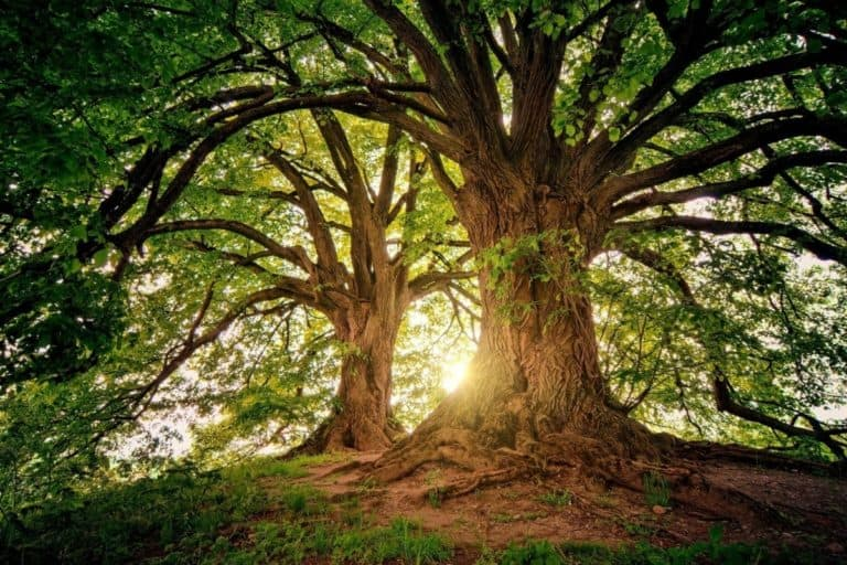 How To Save a Dying Oak Tree (7 Tips You Can Use)